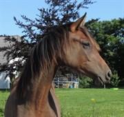 Hest til salg - FELINA