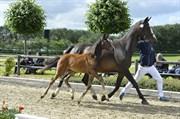 Hest til salg - ANSGÅRDS ARABELLA