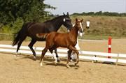 Hest til salg - AK'S SUKINOX ROCK