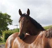 Hest til salg - EQUINE'S VICTORIA