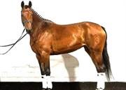 Hest til salg - FIRST LADY