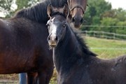 Hest til salg - ZENTARO VG