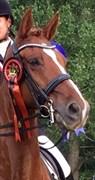 Hest til salg - ZUMA SEM