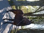 Hest til salg - Locarno