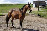 Hest til salg - VORK'S JIVE