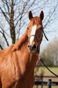 Hest til salg - HØJGAARDENS ZAGGI-LIGHT