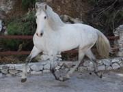 Hest til salg - UBAGO aka The Unicorn