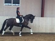 Hest til salg - KASPAROV KW