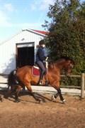 Hest til salg - MONTE CARLO