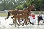 Hest til salg - FREDENSDALS FIFTY SHADES