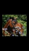 Hest til salg - DE BELLO