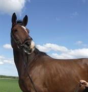 Hest til salg - CILLE LUX.DK