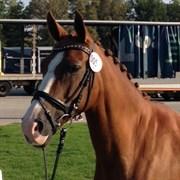 Hest til salg - Fantasia
