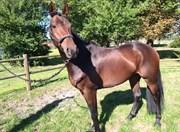 Hest til salg - Surely A Star
