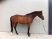 Hest til salg - JULIAN