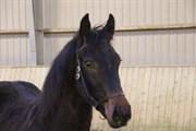 Hest til salg - Vesterskovs Milton