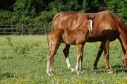 Hest til salg - Gold of XLNZ
