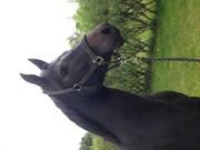Hest til salg - Alisha