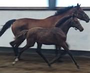 Hest til salg - CINDY LUX. DK