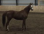 Hest til salg - SKIKKILD'S CREDO