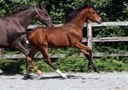 Hest til salg - Gørklintgårds Saladin