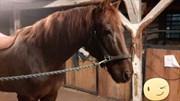 Hest til salg - LAUS