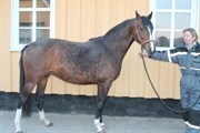 Hest til salg - SIRENA MAJLUND