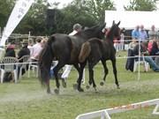 Hest til salg - LANGEMOSEGAARDS SENZATION