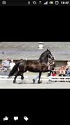 Hest til salg - Ane af Gudenå