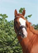 Hest til salg - WIPPER