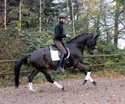 Hest til salg - Grassus