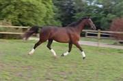 Hest til salg - LAVANO HILLOCK