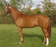 Hest til salg - WELTBLUME