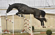 Hest til salg - 5 - AAGAARDENS ZARTRO