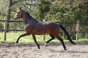 Hest til salg - ROSENGAARDS ZIVA
