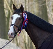 Hest til salg - KUHLMANN'S CAMERON