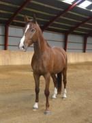 Hest til salg - Katrinelunds Charmeur