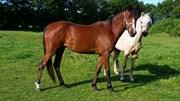 Hest til salg - BJERRINGS SHILOW