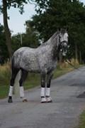 Hest til salg - HAMBORGS GALANT