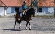 Hest til salg - GØRKLINTGAARDS SOLITO