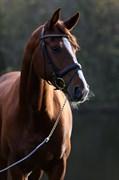 Hest til salg - Whitwell