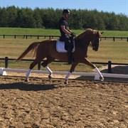 Hest til salg - PORSBORGGÅRDENS QLUNTE
