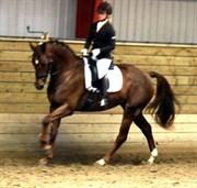 Hest til salg - LILLEMARKENS CISSERONE