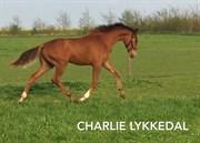 Hest til salg - CHARLIE LYKKEDAL
