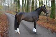 Hest til salg - SCHRØTER'S CASSINI