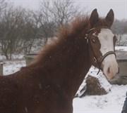 Hest til salg - ÅGÅRD'S ACINO