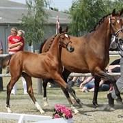 Hest til salg - CHATEL'S COLINA