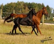 Hest til salg - LISSAU'S BOMBAY