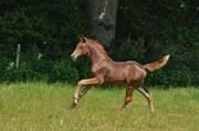 Hest til salg - Kamar`s First Romance