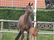 Hest til salg - DACE TEK